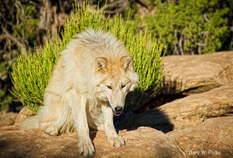 focused wolf - ID: 13112656 © Gary W. Potts