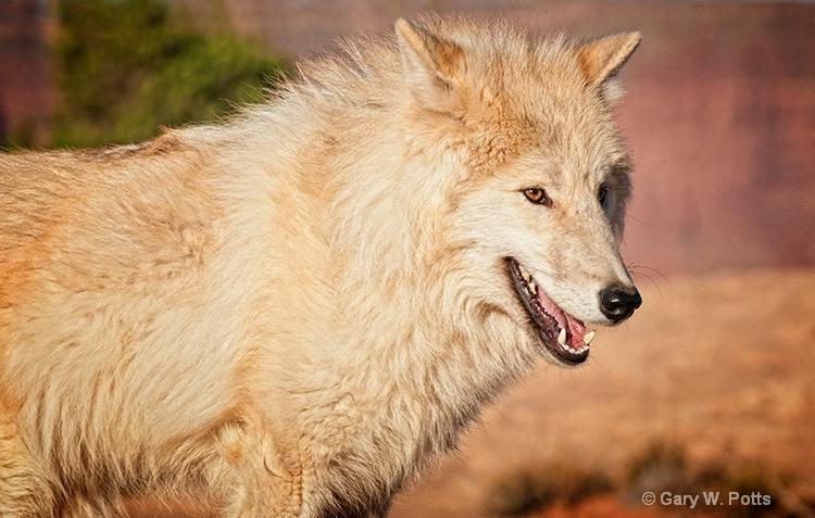 Wolf Stare - ID: 13112678 © Gary W. Potts
