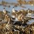 © Leslie J. Morris PhotoID # 13114300: Greater White-fronted Geese