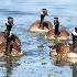 © Leslie J. Morris PhotoID # 13114792: Small Curious Canada Goose Flock