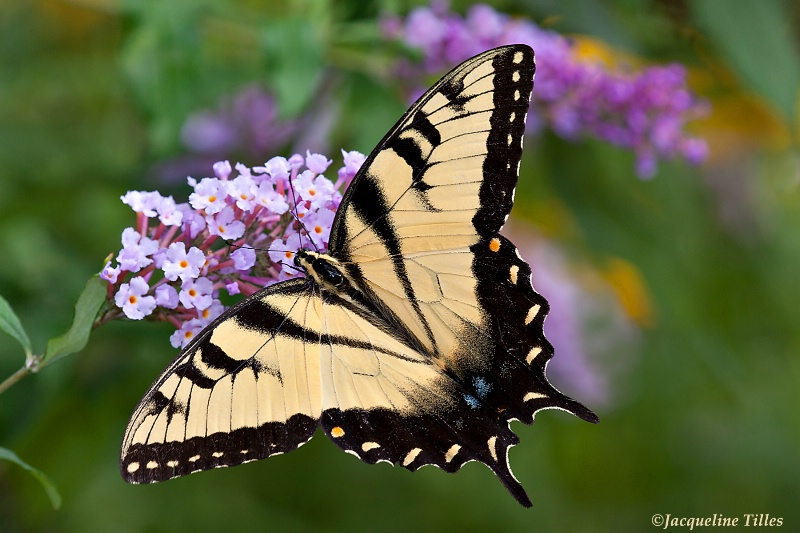Tiger Swallowtail on Butterfly Bush - ID: 13115064 © Jacqueline A. Tilles
