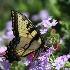 © Jody A. Hatley PhotoID # 13116826: Tiger Swallowtail Butterfly