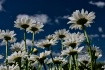 Daisy Clouds
