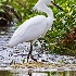 © Leslie J. Morris PhotoID # 13118988: Smowy Egret
