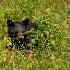 © Michael S. Couch PhotoID# 13119107: Black Bear, Great Smoky Mountains, N.P., 5.26.12