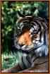 Maylan Tigar