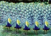 Peacock Brigade