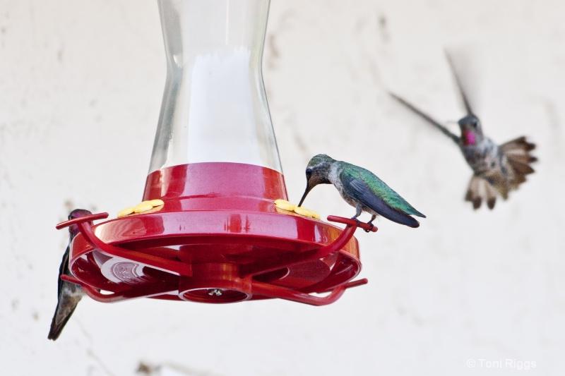 Hummingbird Ninja - Flying Sideways is a Must