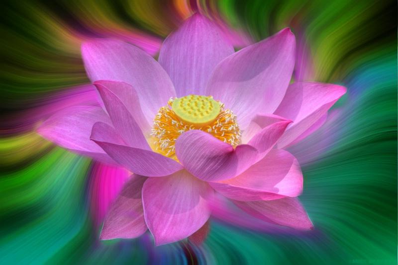Lotus ...