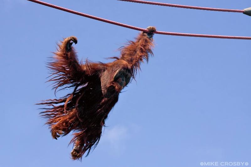 Male Orangutan on the O Line