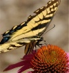 Swallowtail Lunch...