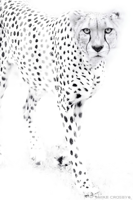 Cheetah in High Key ...