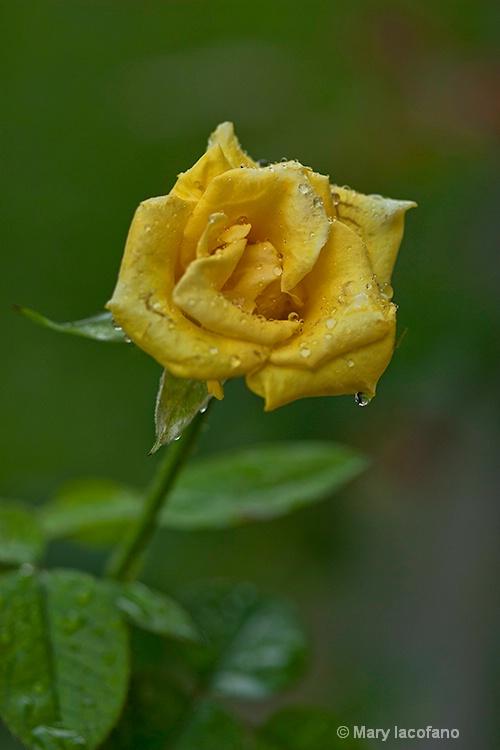 Cal's Rose - ID: 13148796 © Mary Iacofano