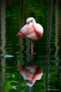 Flamingo Reflecti...