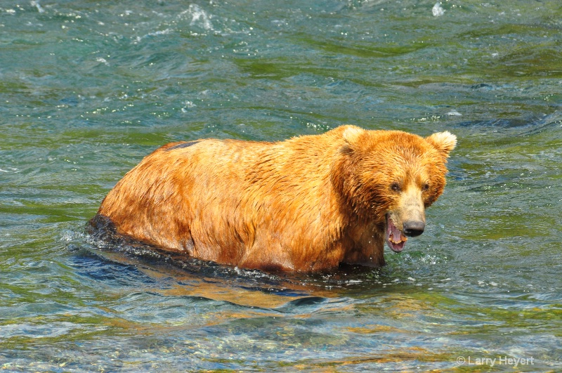 Brown Bear at Katmai National Park Alaska - ID: 13150133 © Larry Heyert