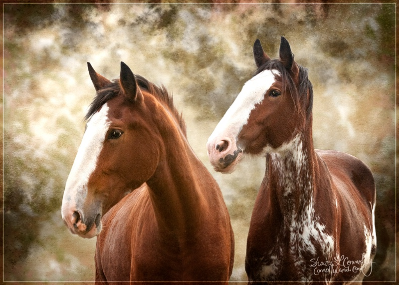 Young Clydesdales