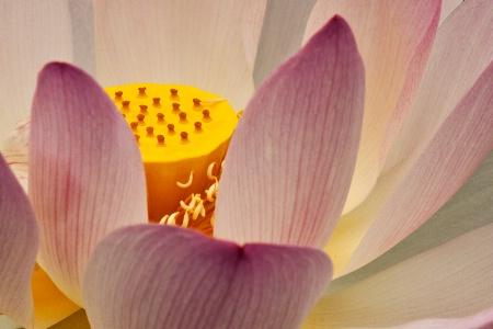 Inner Lotus