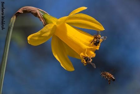 Popular daffodils