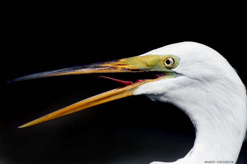 Egret up close ...