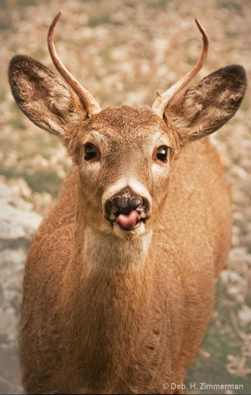 Rasberrying Deer - ID: 13166698 © Deborah H. Zimmerman