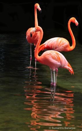 three caribbean flamingoes