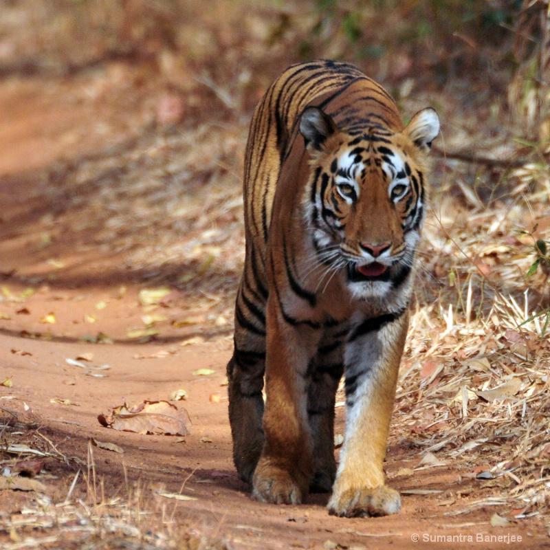 territory patrol  tadoba  india