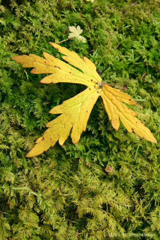 Autumn Maple leaf on moss - ID: 13169599 © Deborah H. Zimmerman