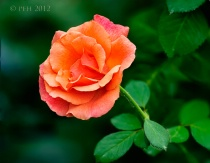 Hybrid Pink and Orange Rose