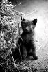 Hay Kitten