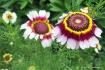 Tri-colored daisi...