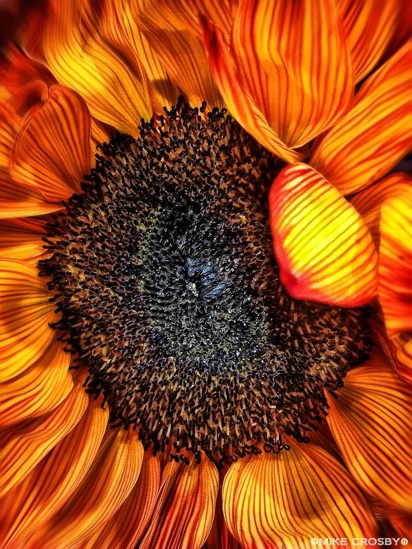 Sunflower in Summer's Heat