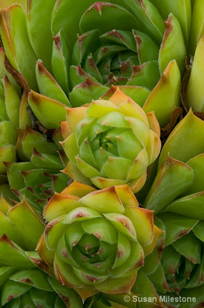 3 Cactus 3701 - ID: 13181058 © Susan Milestone