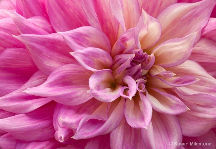 Dahlia 5738 - ID: 13181248 © Susan Milestone