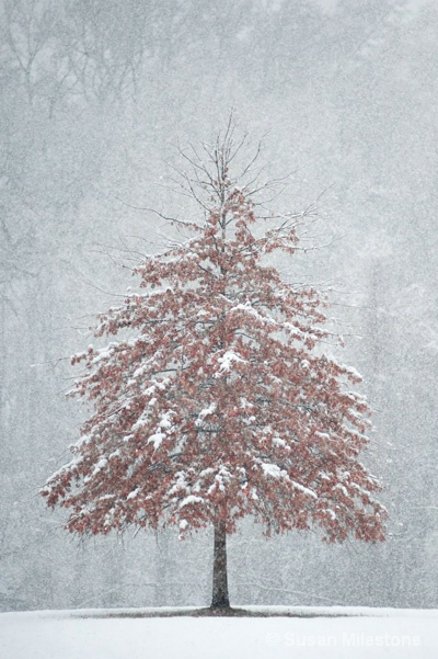 Snow Tree 4311 V - ID: 13181560 © Susan Milestone