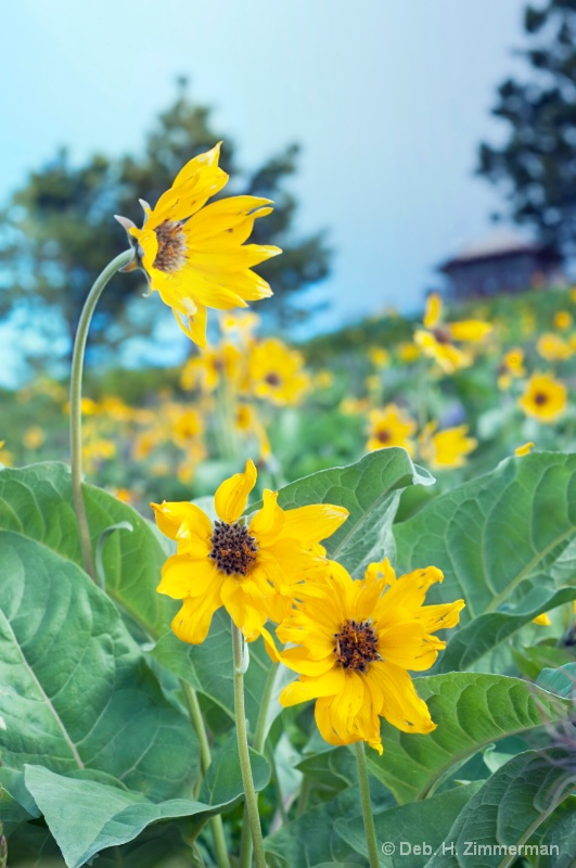 False sunflowers for Sistine - ID: 13181916 © Deborah H. Zimmerman