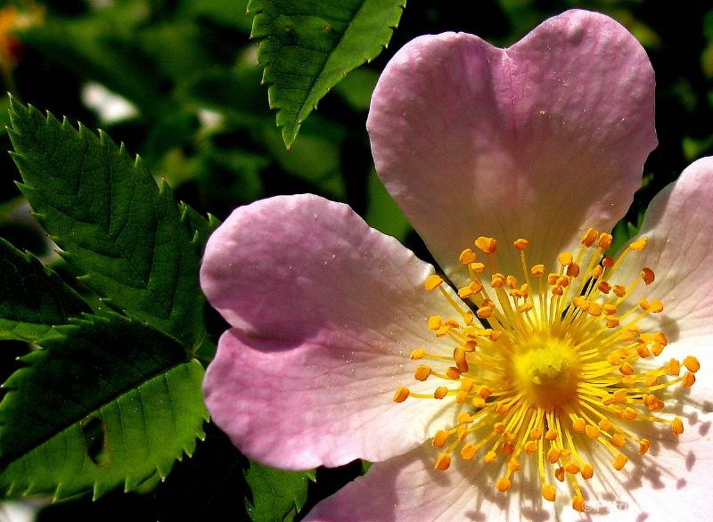 Alberta Wild Rose