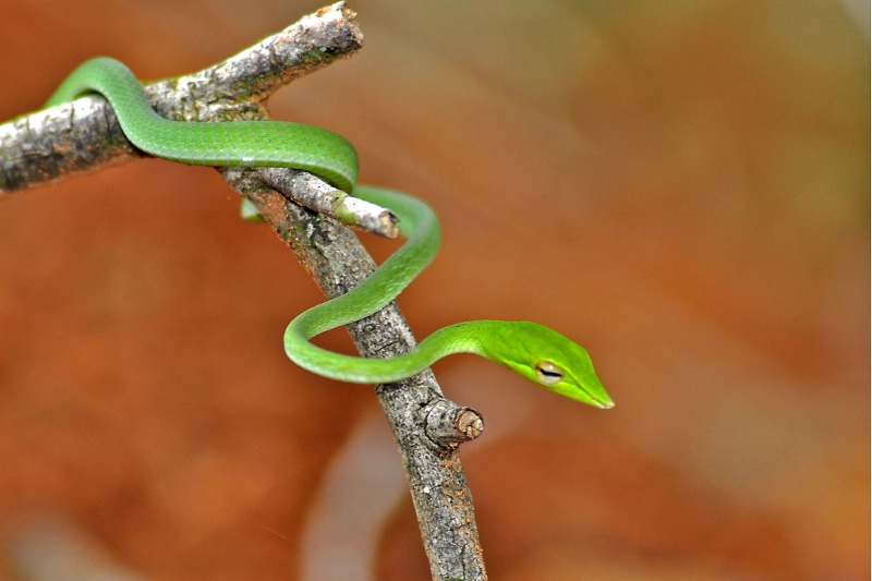 Green vine snake - ID: 13184320 © VISHVAJIT JUIKAR