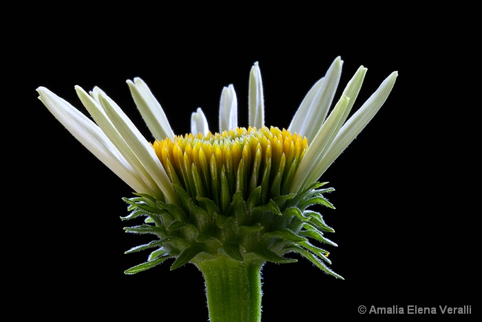 echinacia, yellow, green, flower, macro, abstract