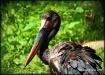 A Stork...
