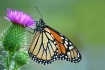 Monarch enjoying ...