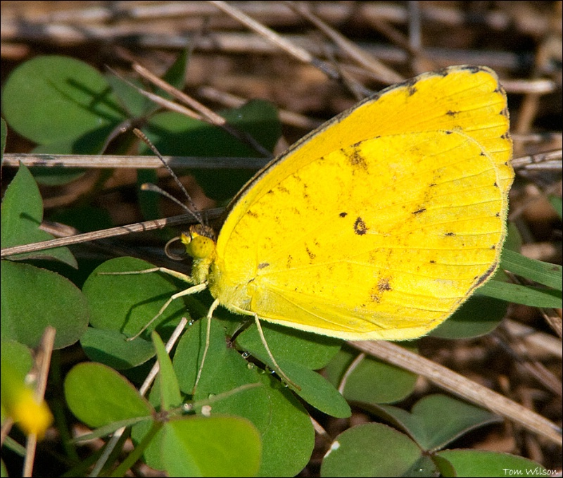 Cloudless Sulpher  - ID: 13192562 © Thomas R. Wilson