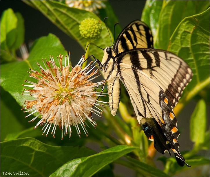 Tiger Swallowtail - ID: 13192744 © Thomas R. Wilson