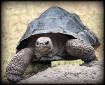 Galapagos Tortois...