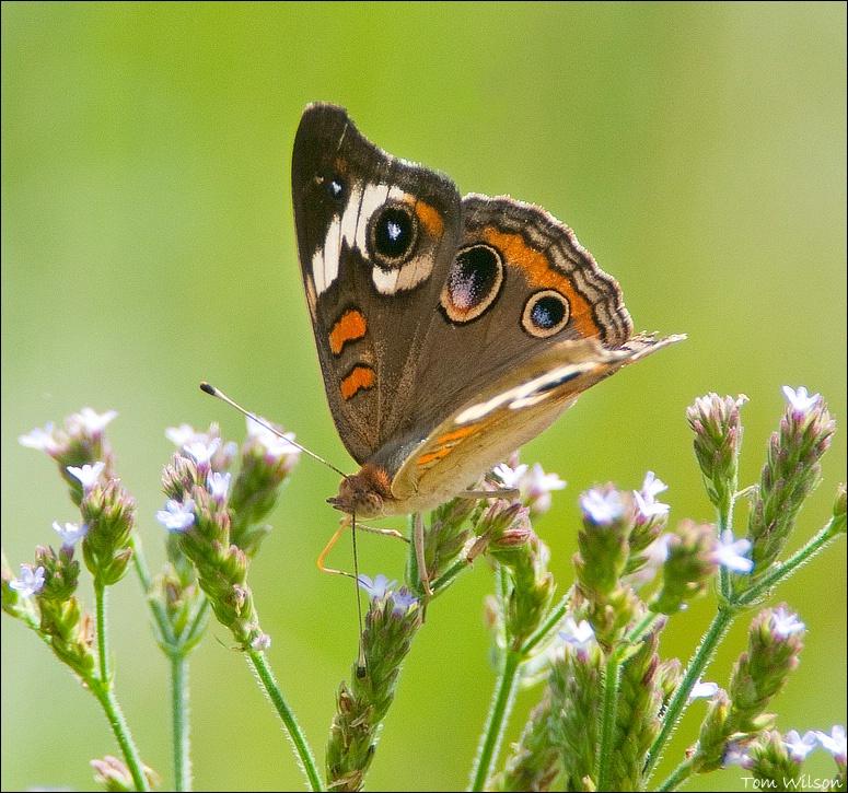 Common Buckeye - ID: 13195703 © Thomas R. Wilson