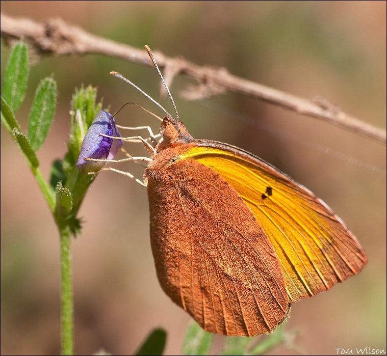 Orange Sulpher - ID: 13195707 © Thomas R. Wilson