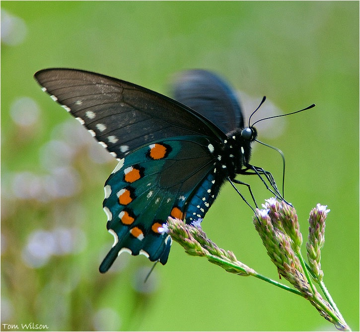 Pipevine Swallowtail - ID: 13195708 © Thomas R. Wilson