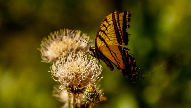 zion butterfly