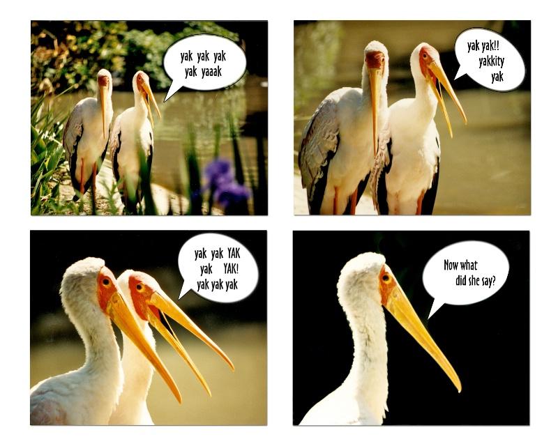 Yellow-billed Storks - ID: 13196168 © Terry Korpela