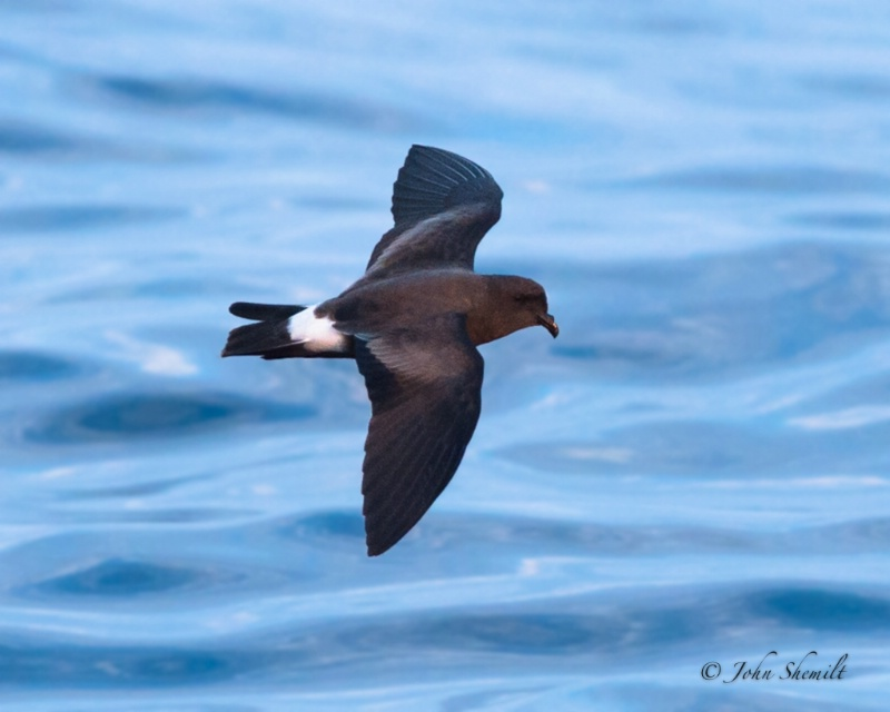 Band-rumped Storm-petrel - July 28th, 2012  - ID: 13202254 © John Shemilt