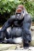 Kwashi the Gorill...